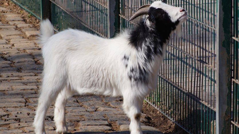 Lindenthaler Tierpark - Ziege