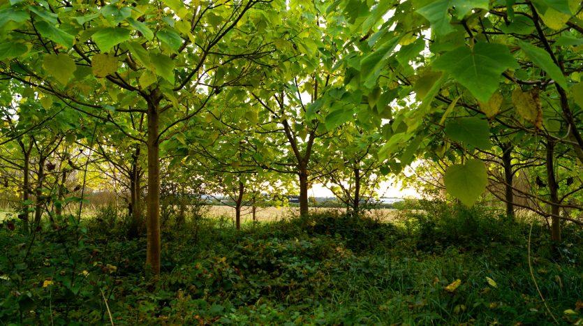 Waldlabor in Köln Marsdorf - Ein Blauglockenbaumwäldchen